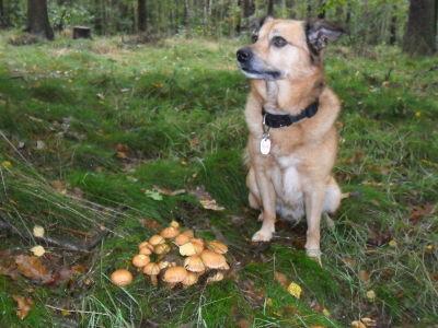 Beim Pilze suchen ist Charlie immer mit dabei
