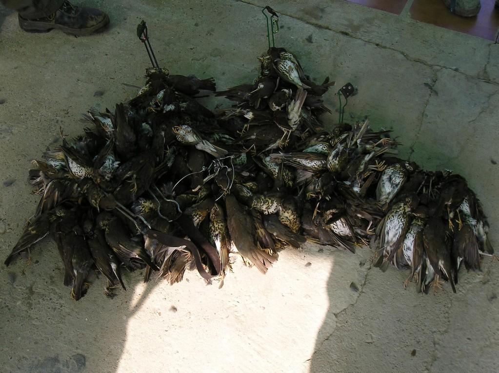 1ª Cacería de Zorzales 2010 (170 Piezas)