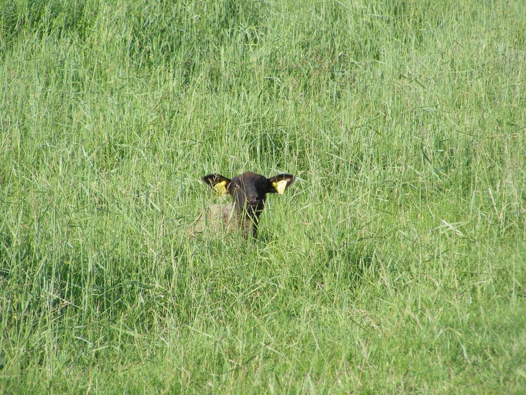 L'agneau de l'estran de la baie de somme