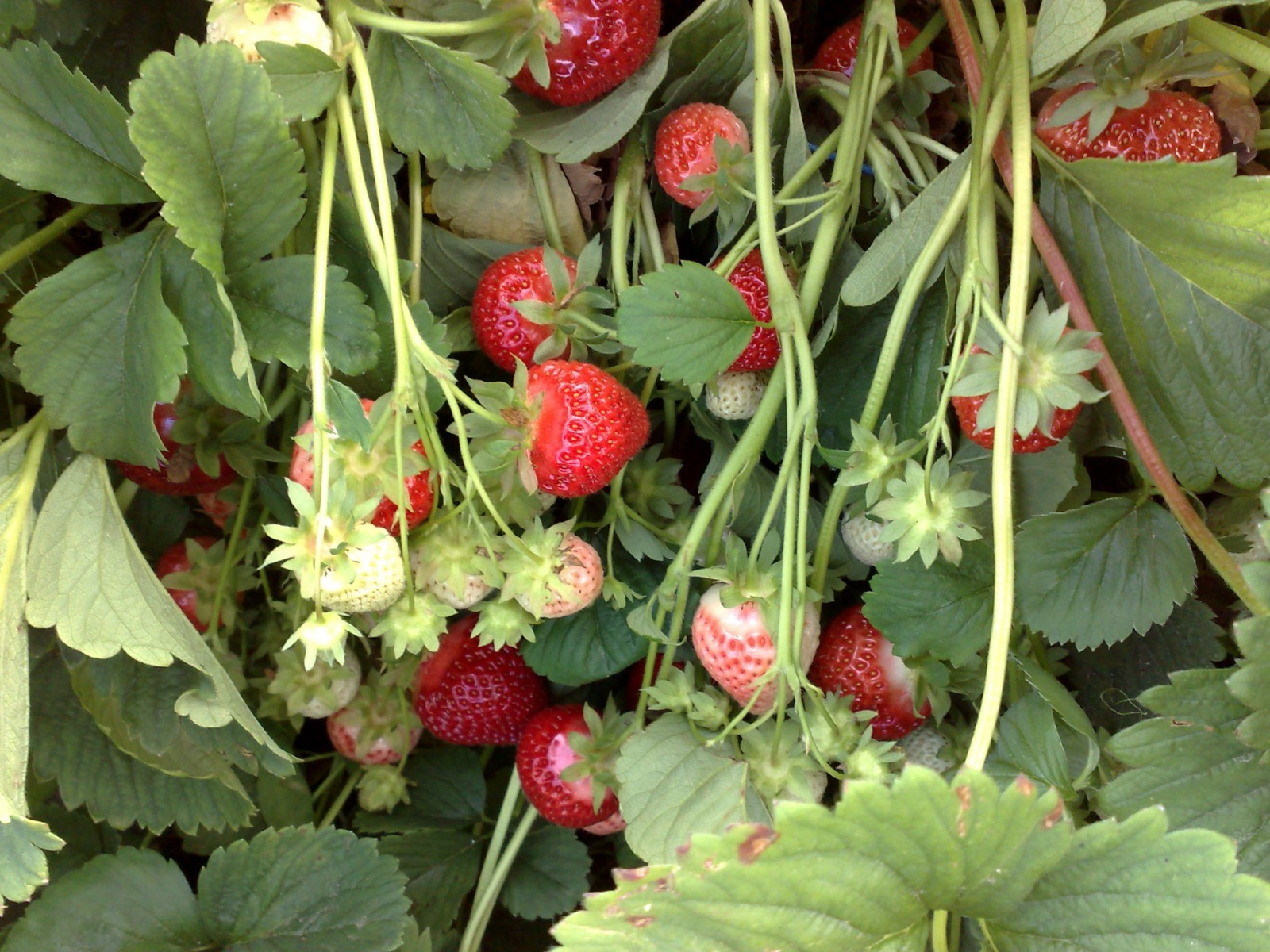 Floraison fraisiers