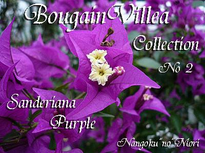 Sanderiana Purple