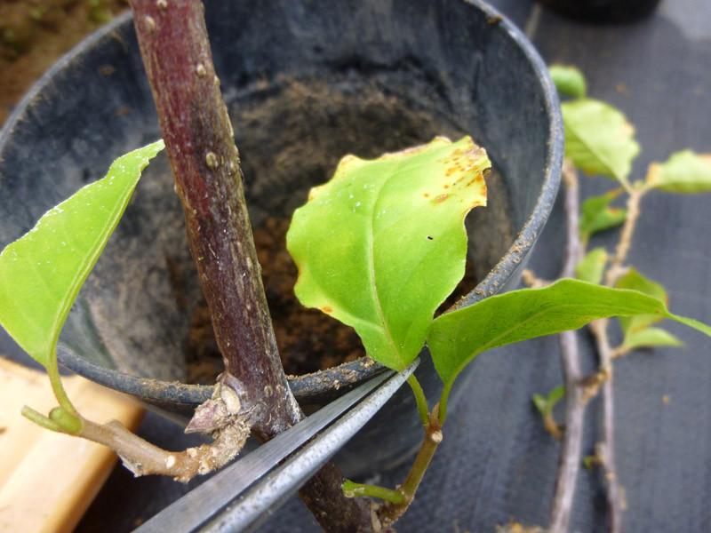 生長点を傷つけないように葉だけ切りましょう