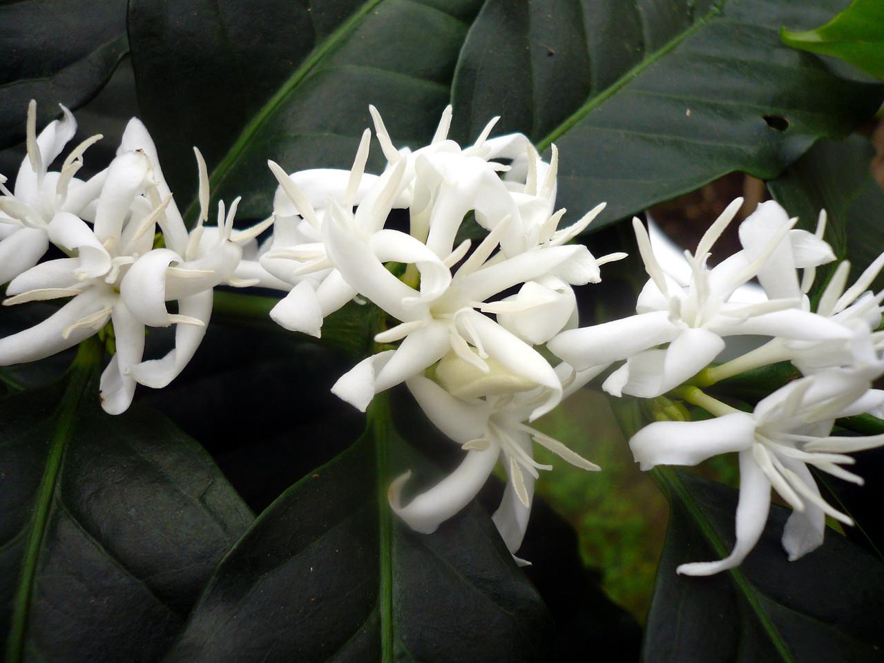 コーヒーの花 ちょっぴり柑橘系の香り