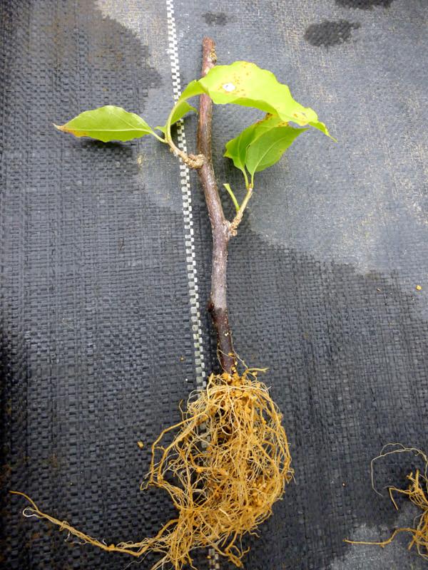 鉢上げ前3週間前に肥料を与えると細い根がしっかりしますよ