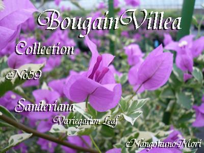 Sanderiana Variegation Leaf Purple
