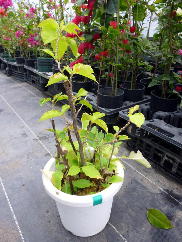 鉢上げの前までには液肥2,000倍を与えると根が太くなります