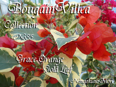 Grace Orange