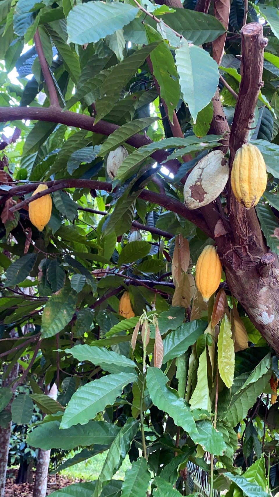 今回収穫した一部のcacaoの木です