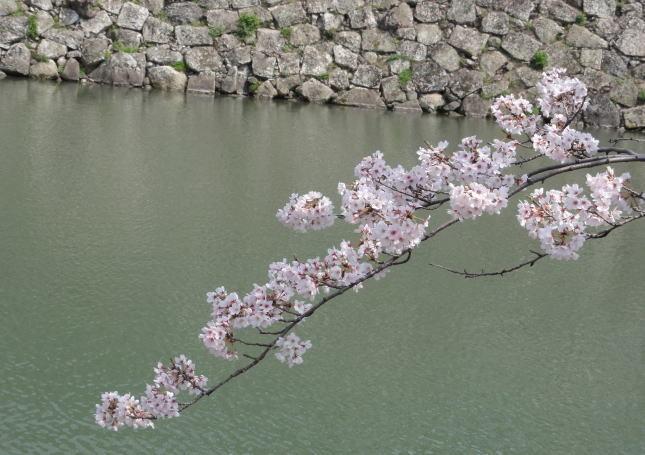 お堀に映える満開桜