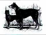 Типичные представители пинчеров и цвергпинчеров. 1894