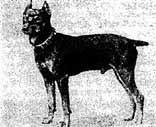 Средний пинчер. 1899