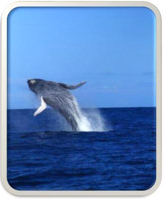 Wal vor der Küste Australiens