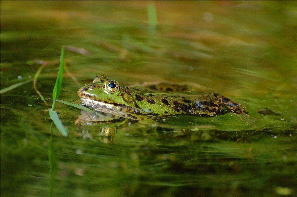 Wasserfrosch; © Hagen Schmid