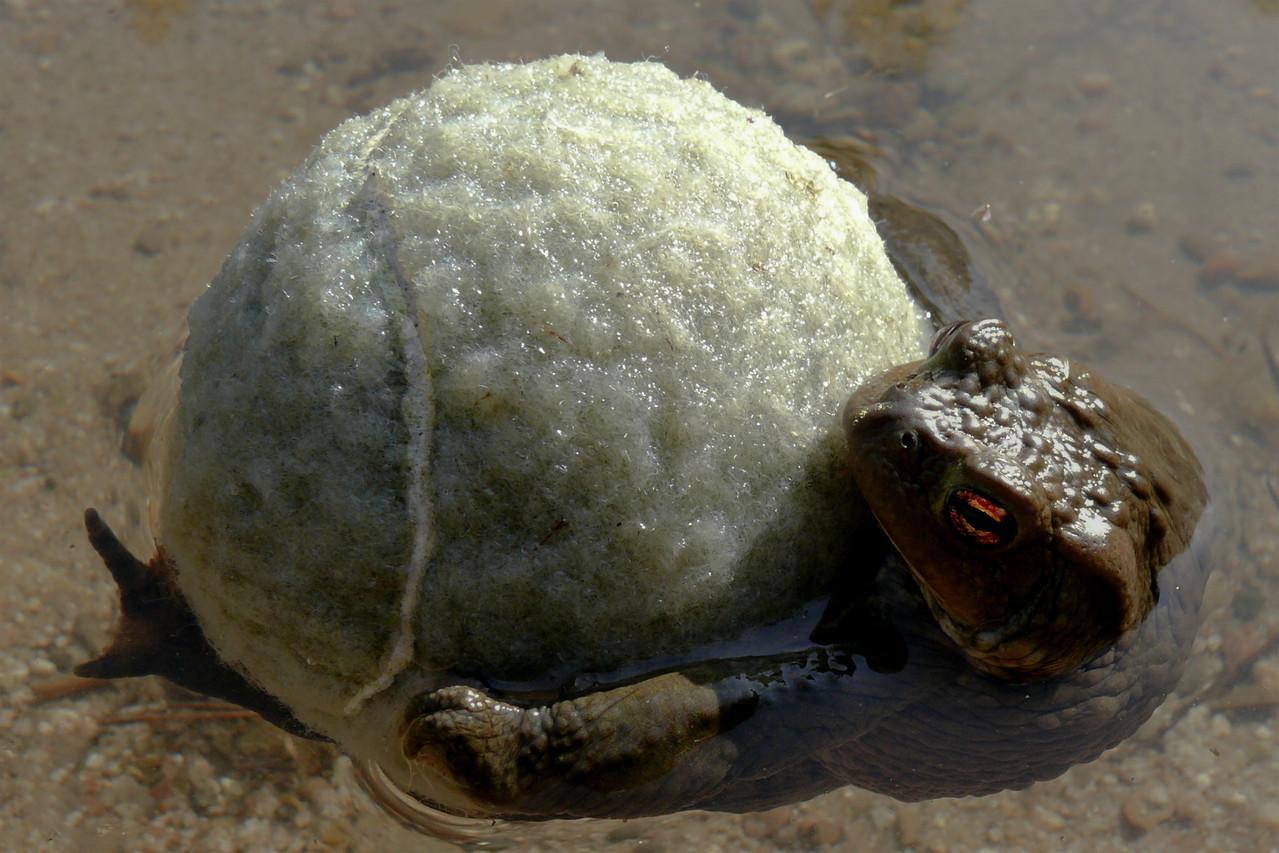 Erdkröte, falscher Partner; © Bernd Steiner
