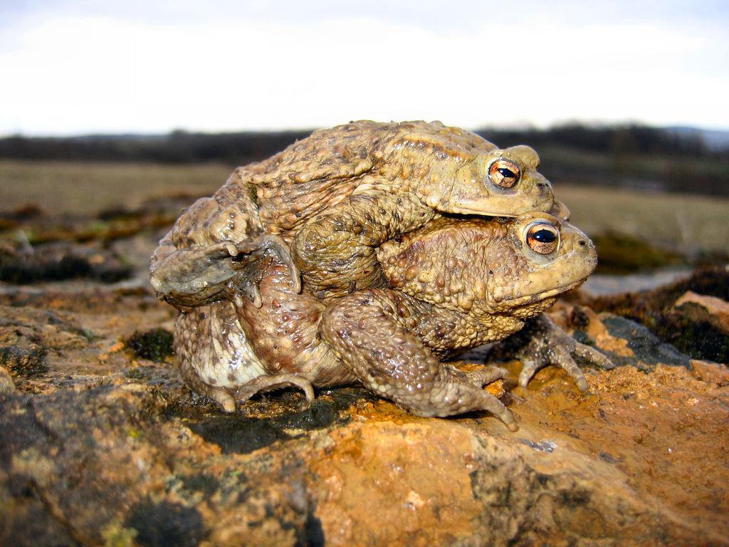 Erdkröten-Paar; © Armin Jendrysik