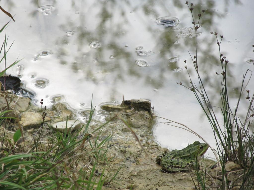 Wasserfrosch; © Sven Schär