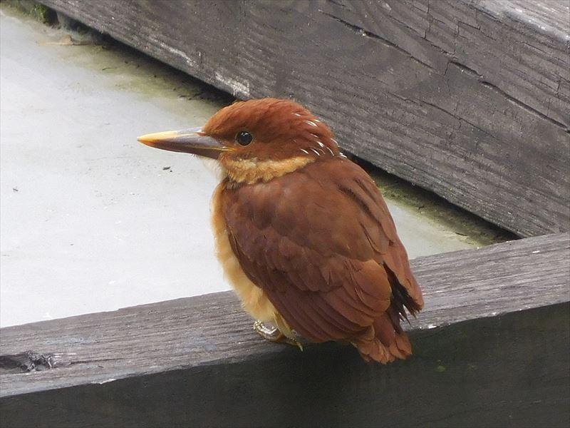 まだあどけない幼鳥だ。飛行練習中かな