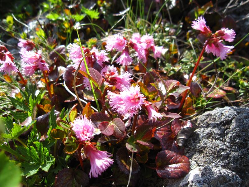 山の上では高山植物の色の競演が始まります(コイワカガミ)