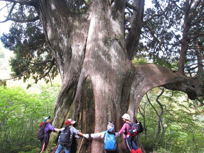 上倉山山頂近くにある幹回り9.27mのクロベ(ネズコ)の巨木。圧巻です!