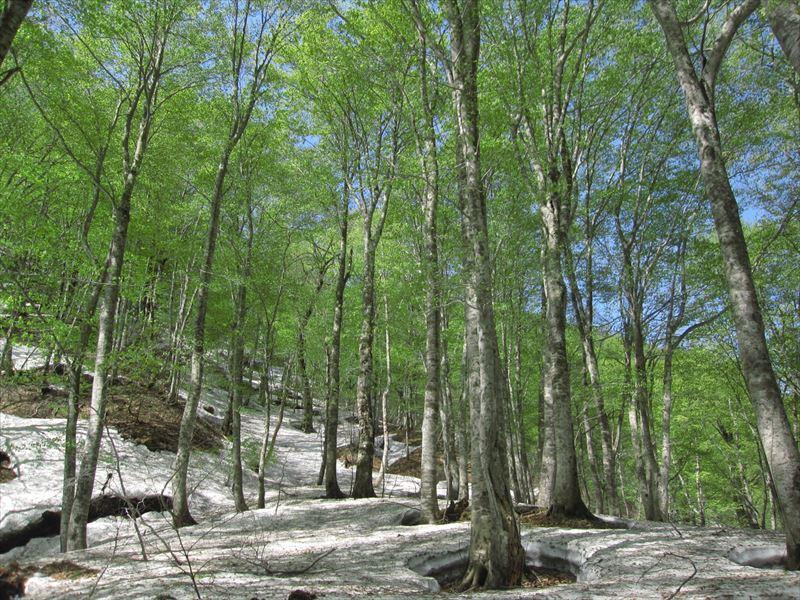 ブナの森が一番?美しいとき