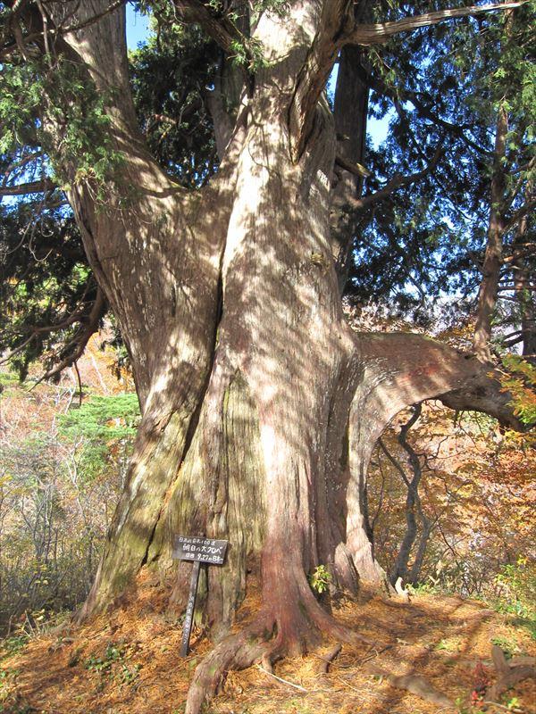 クロベ(ネズコ)の巨木も静かにたたずむ