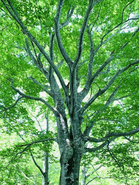 ▲美しい姿のブナの巨木
