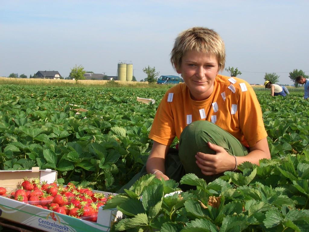 Süße Erdbeeren, schönes Wetter da macht die Arbeit Spaß