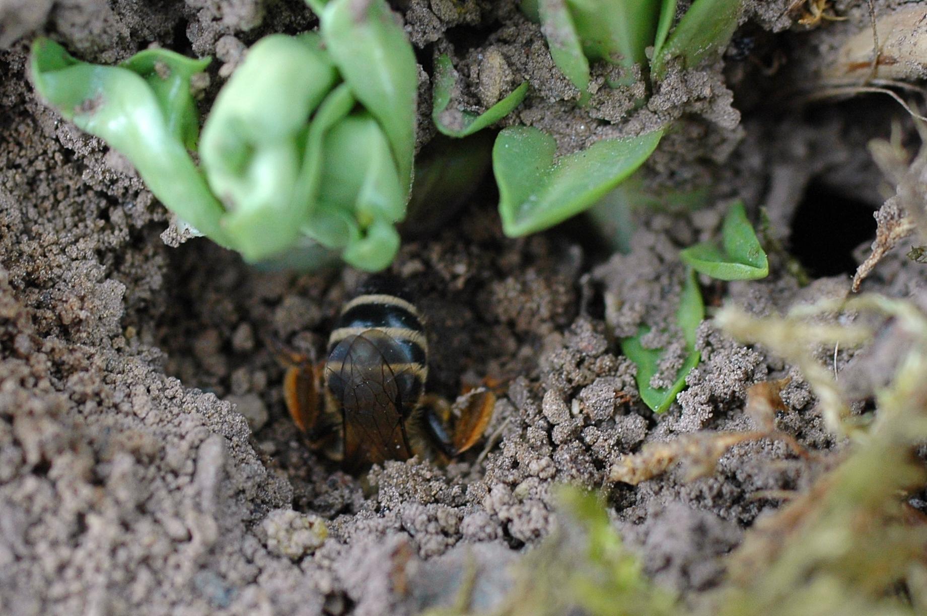 diese Sandbienenkönigin gräbt sich eine Niströhre ... Foto: Britta Raabe