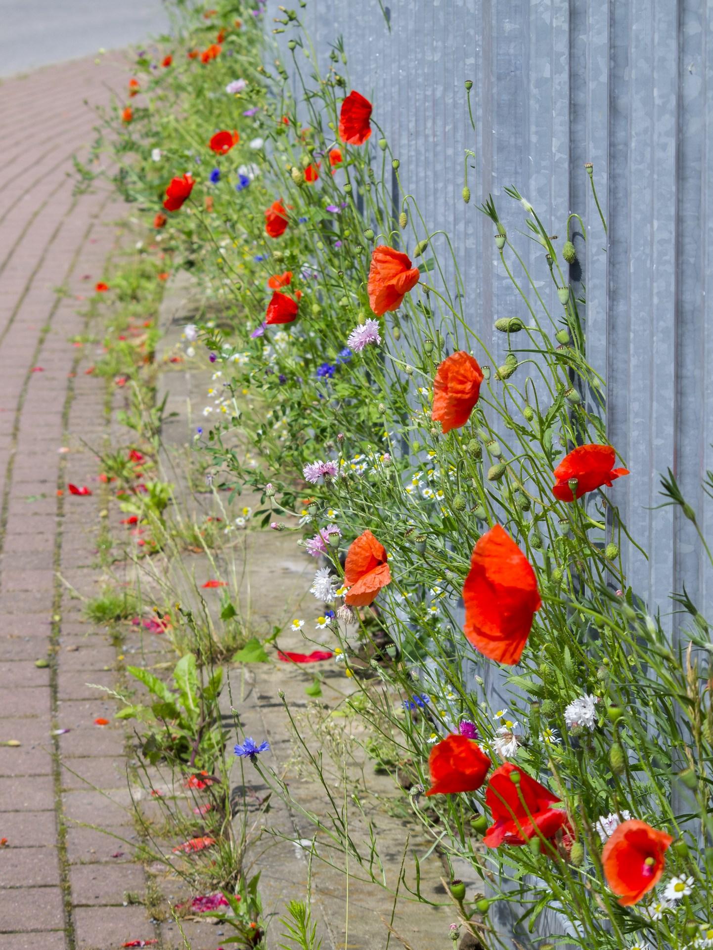 wenn sich die Blüten Bahn brechen - Foto: Kathy Büscher