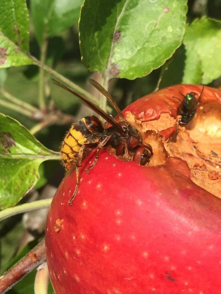 Hornisse an Apfel Ingrid Marie - Foto: Britta Raabe