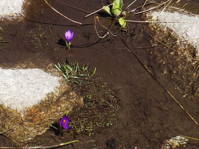 自生の「クロッカス」雪解け直ぐに開花