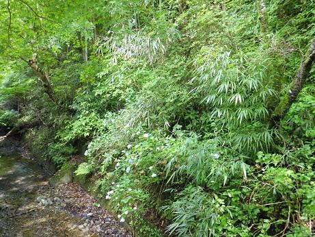 稲荷山コース登山口の橋からアジサイ