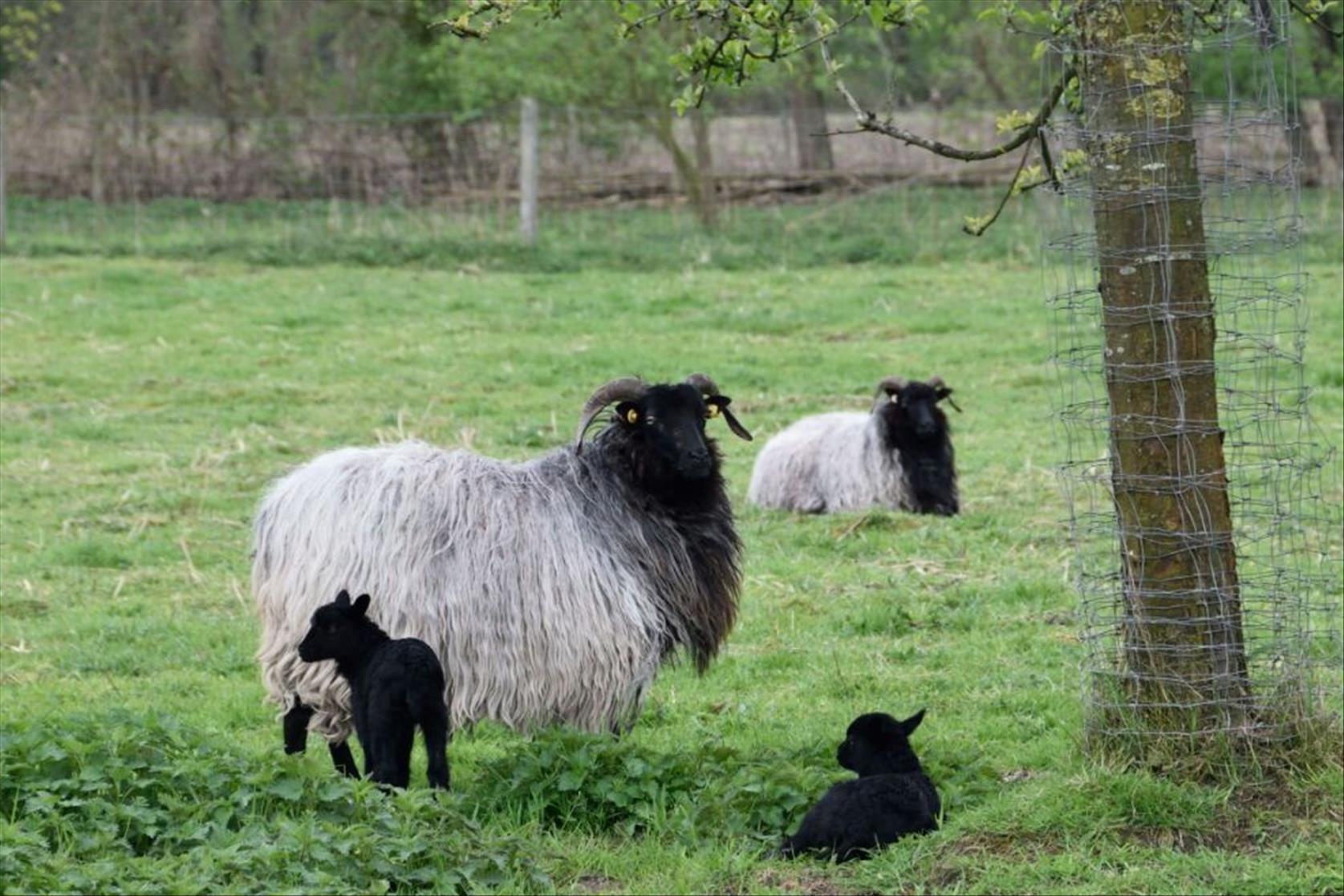 Heidschnucken, eine gefährdete Haustierrasse  - Landschaftspfleger auf NABU-Biotopflächen
