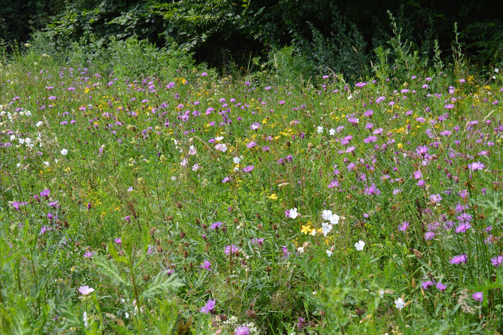 Neue artenreiche Blühstreifen  -  echte Hilfe für Wildbienen & Schmetterlinge