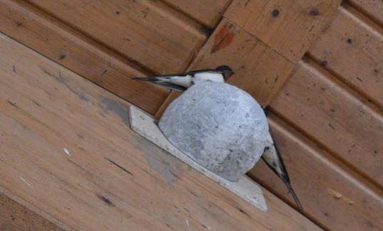 Rauchschwalben-Nisthilfe wird sofort angenommen