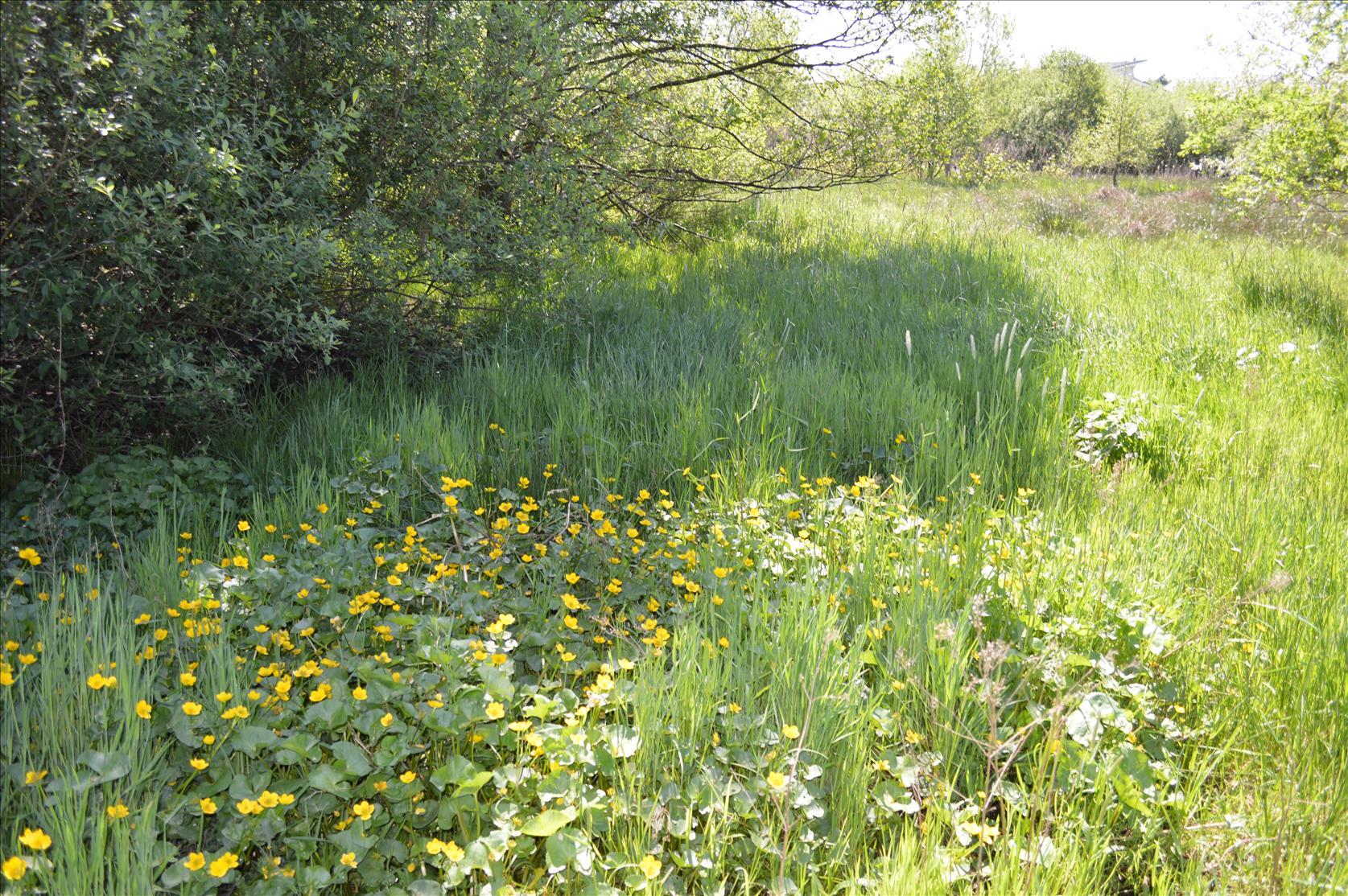 Sumpfdotterblumenwiese - fast veschwundene Sumpfwiesen