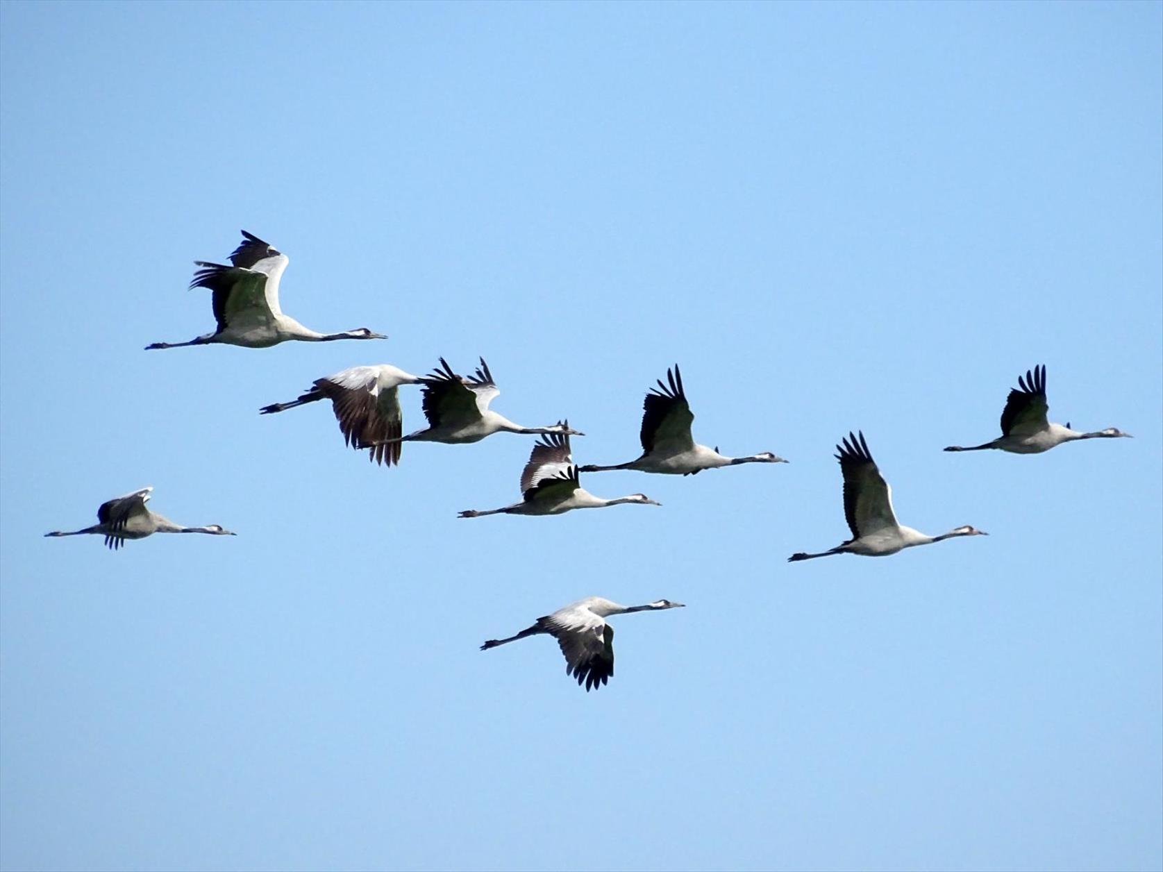 Kranich - viel NABU-Engagement für Moor- und Vogelschutz