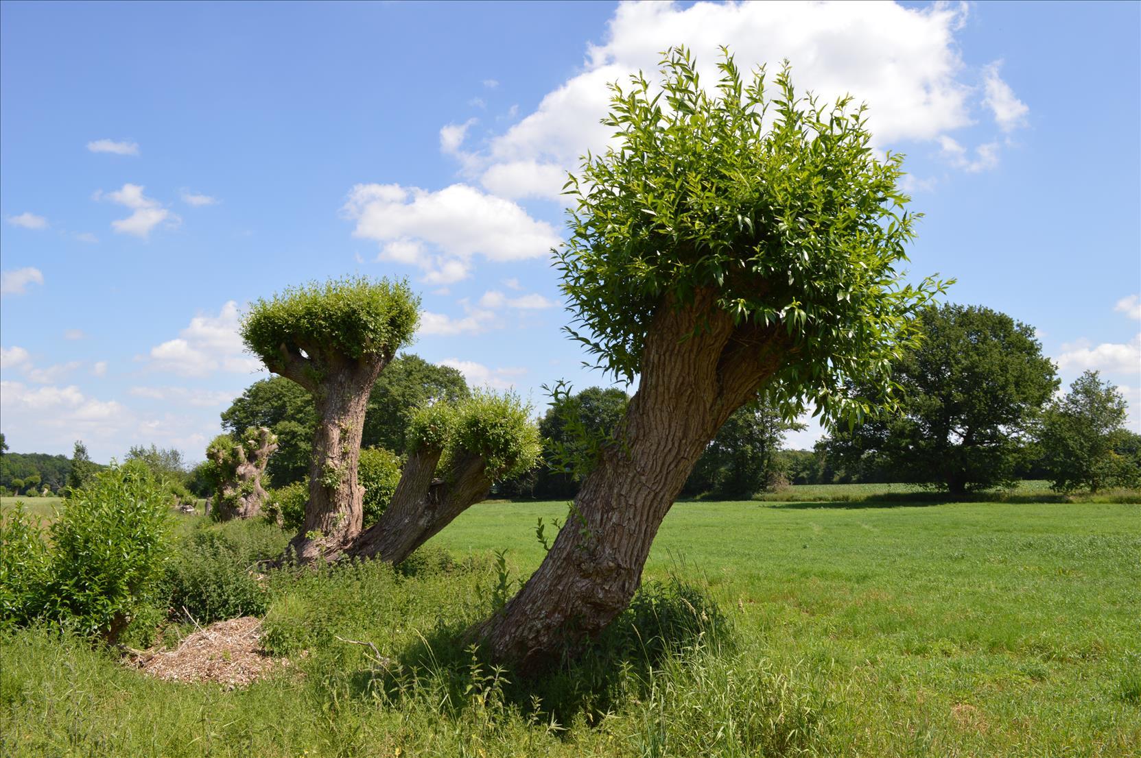 Frisch gepflegte Kopfbäume in Klein-Brockdorf