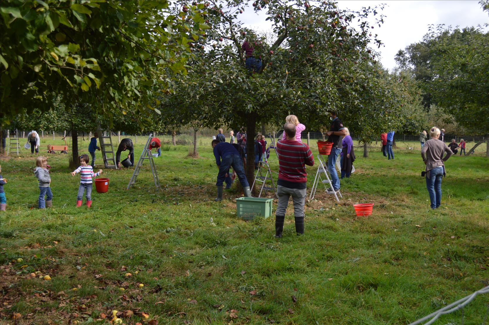 Apfelpflücken am Klünpott in Brockdorf  -   jung und alt helfen begeistert