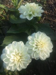 おおくまたろうちゃんのお墓にも真っ白いダリアが咲きました