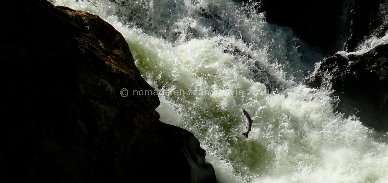 Saumons qui remontent la cascade