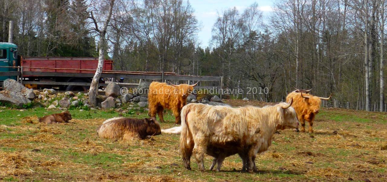 Vaches de race Highland à poils longs