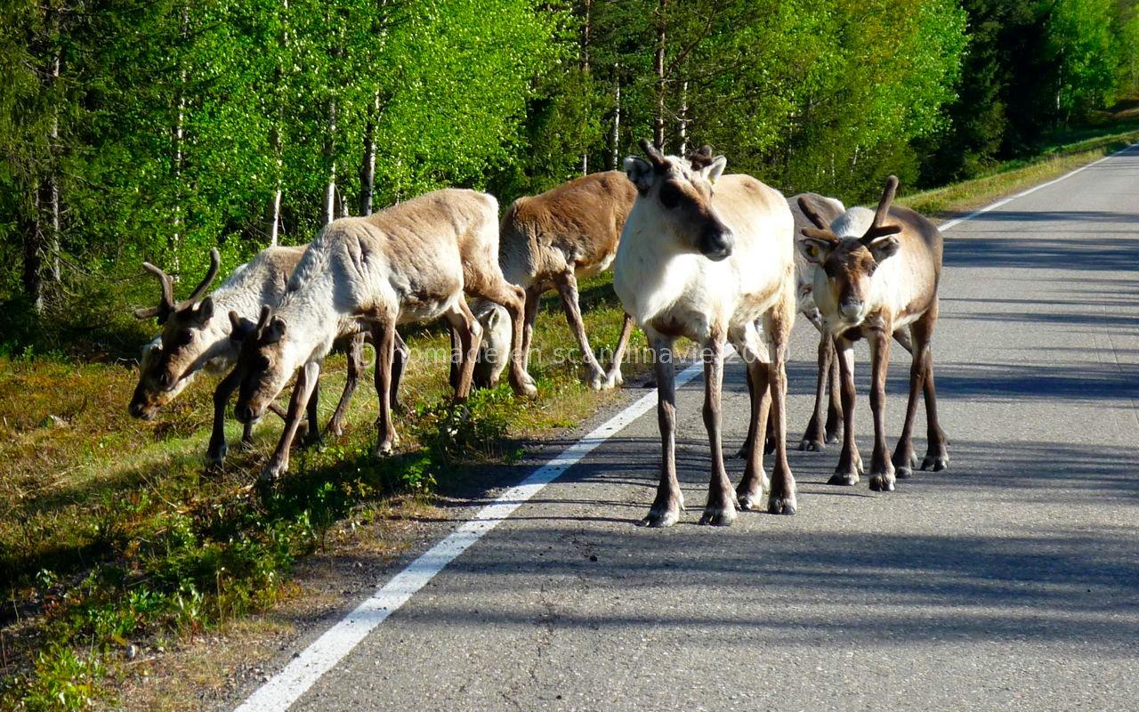 Nos premiers rennes!