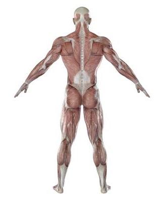 背骨は筋肉の引っ張る力(張力)で支えられている