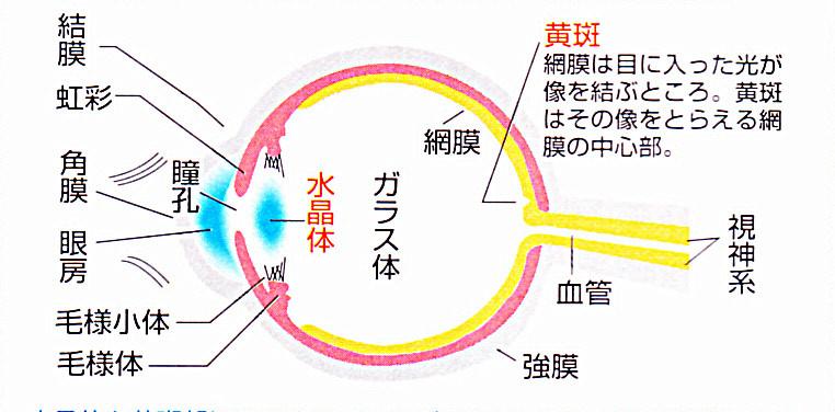 私たちの眼は、有害な光線が網膜まで達しないように、角膜や水晶体がそれらを吸収して、眼を守っています。