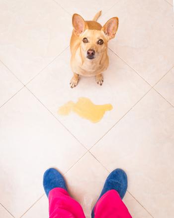 Hund hat in die Wohnung uriniert.