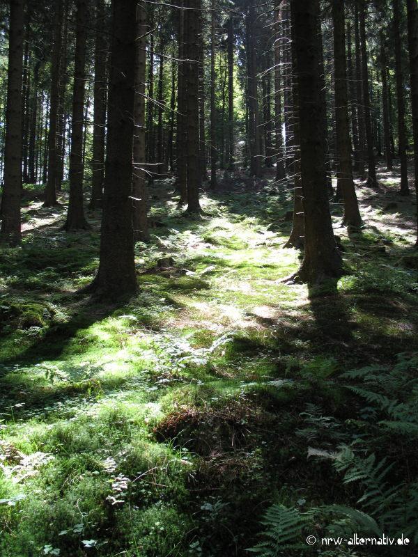 Sonnendurchflutetes Waldstück bei Winterberg.