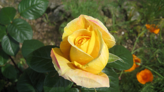 Une de nos roses