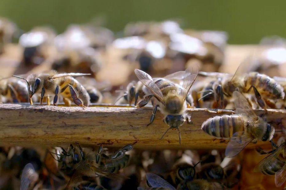 Des abeilles pour demain