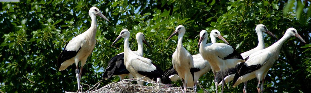 """ungewöhnliche Ansammlung von Jungstörchen auf einem Nest, O-Ton des Stationsleiters:""""Eine Sensation!"""""""